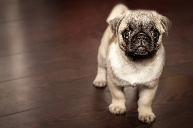 Pug Puppy Dog - Free photo on Pixabay (455326)