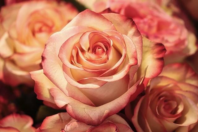 Rose Flower Petal - Free photo on Pixabay (455428)