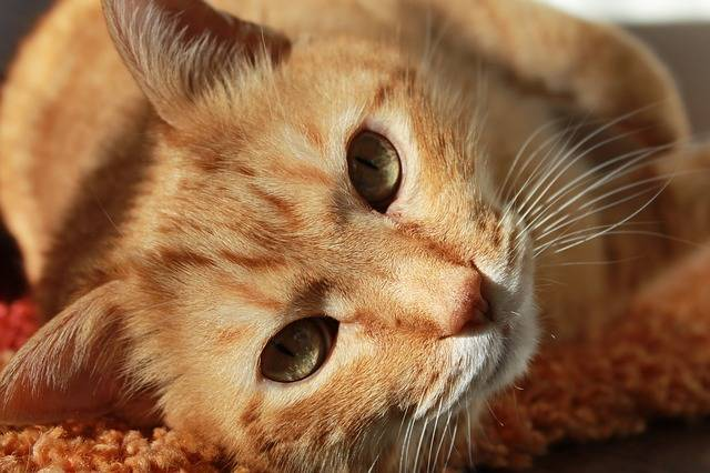 Cat Animal Pets - Free photo on Pixabay (461034)