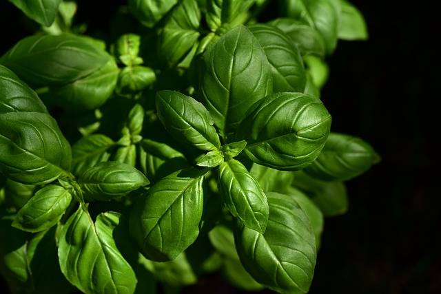 Basil Herb Culinary Herbs - Free photo on Pixabay (465332)