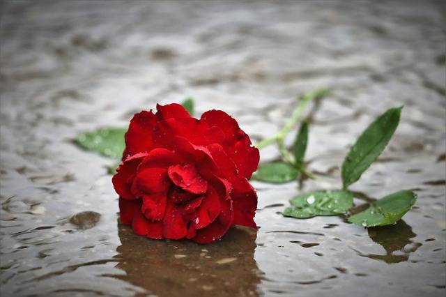 Red Rose In Rain Dark Gothic Mood - Free photo on Pixabay (465527)