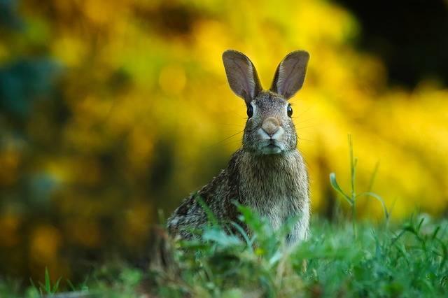 Rabbit Hare Animal - Free photo on Pixabay (466290)