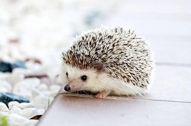 Hedgehog Animal Baby - Free photo on Pixabay (467575)