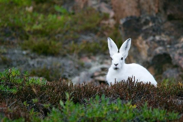 Arctic Hare Rabbit - Free photo on Pixabay (468465)