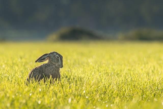 Hare Bunny Rabbit - Free photo on Pixabay (468993)