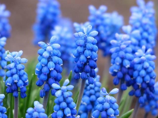 Muscari Common Grape Hyacinth - Free photo on Pixabay (470332)