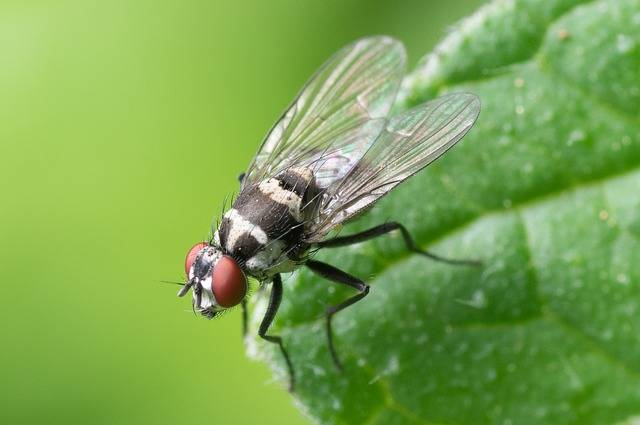 Common Fly Macro Insect - Free photo on Pixabay (486154)