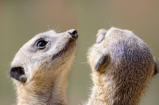 Meerkat Fur Small - Free photo on Pixabay (486526)