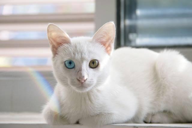 Cat Cute White Persian - Free photo on Pixabay (490054)