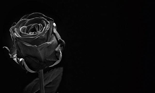 Rose Black Bloom - Free photo on Pixabay (493410)