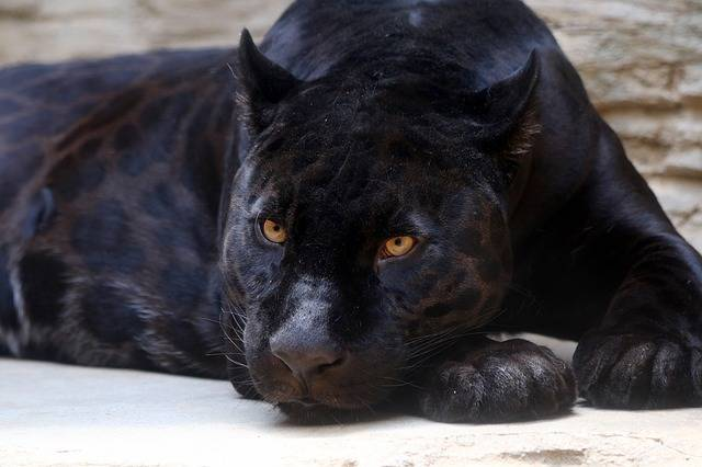 Black Panther Jaguar Feline - Free photo on Pixabay (502857)