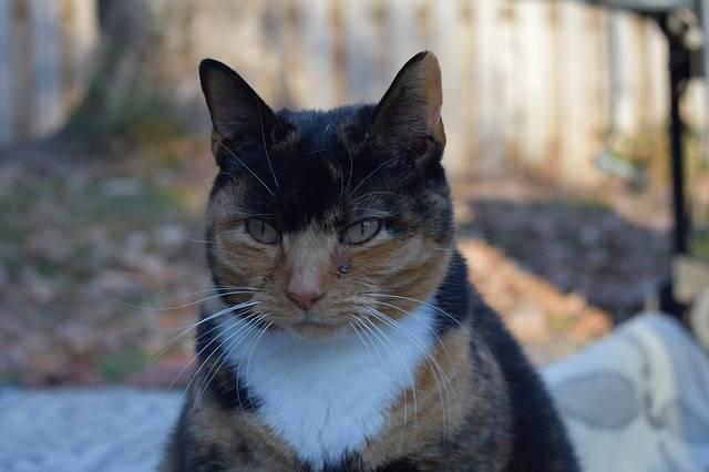Angry Calico Cat - Free photo on Pixabay (502990)