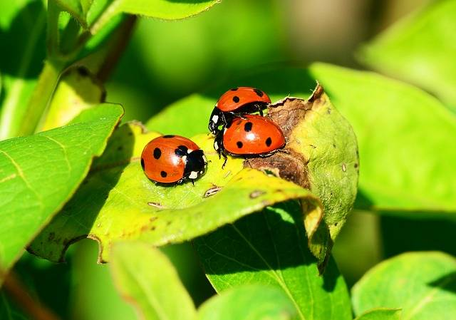 Ladybird Group Seven-Spot - Free photo on Pixabay (506337)