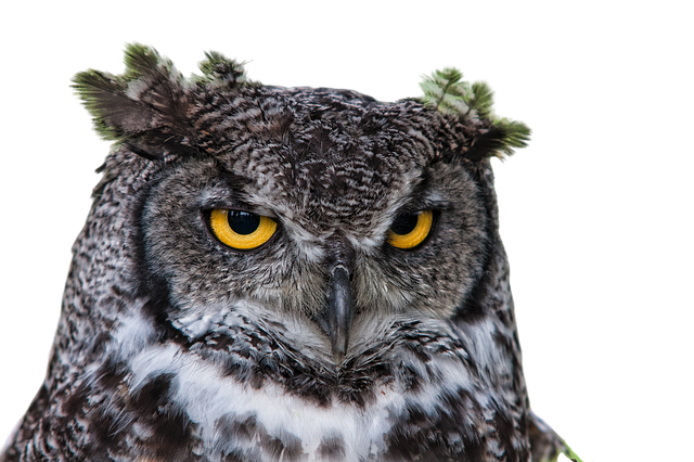 Owl Grand Duke Png - Free photo on Pixabay (507642)