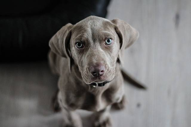 Weimaraner Puppy Dog - Free photo on Pixabay (508005)