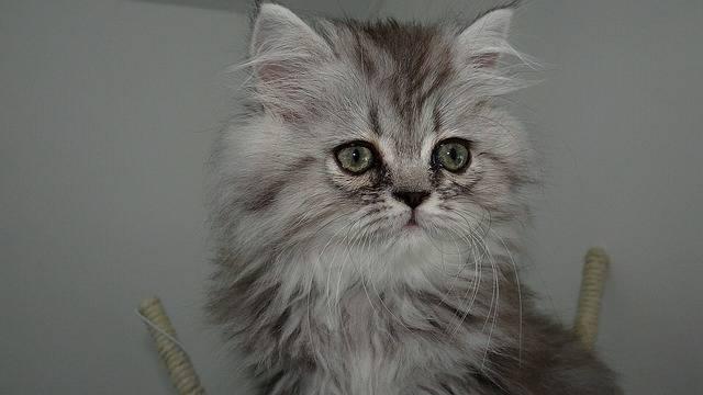 Cat Feline Hair - Free photo on Pixabay (509654)