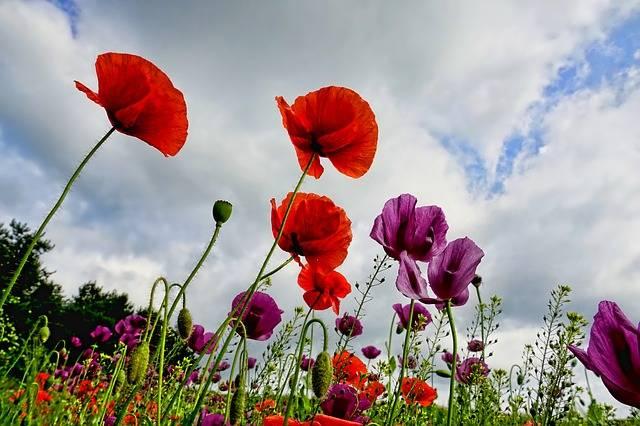 Poppies Flowers Poppy - Free photo on Pixabay (509677)