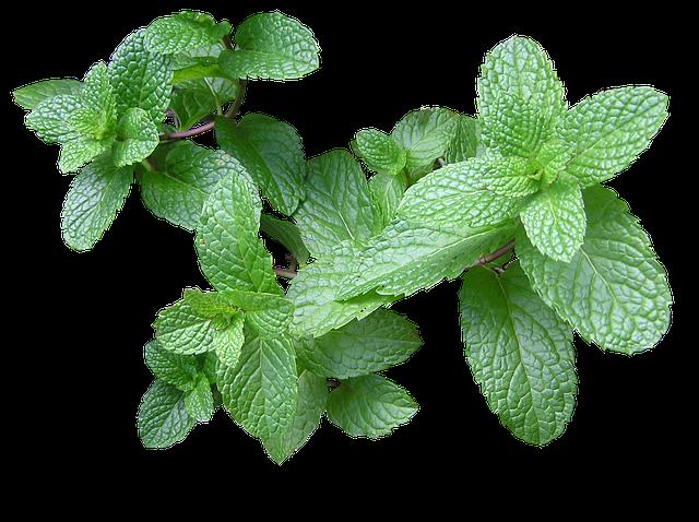 Herb Mint Cut - Free photo on Pixabay (509778)