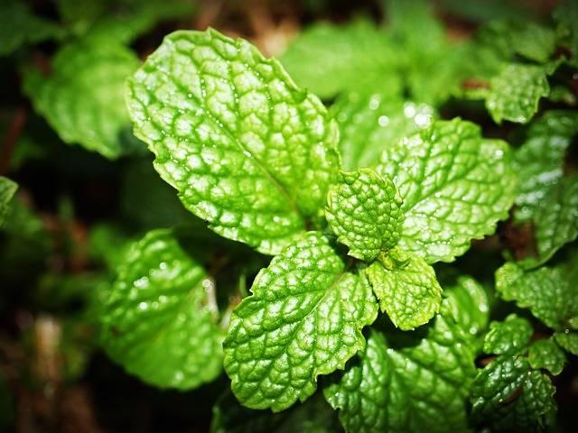 Mint Leaf Menthol - Free photo on Pixabay (509799)