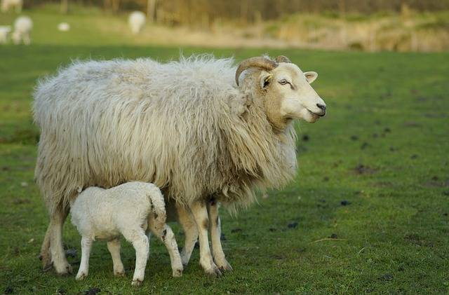 Sheep Mother Lamb Breast - Free photo on Pixabay (509821)