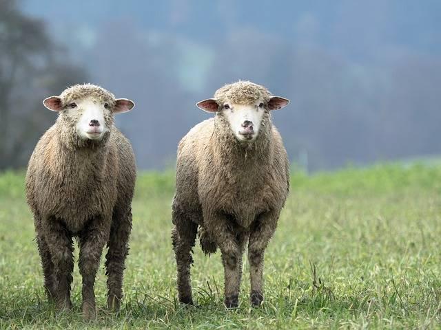 Sheep Animal Twin - Free photo on Pixabay (511668)