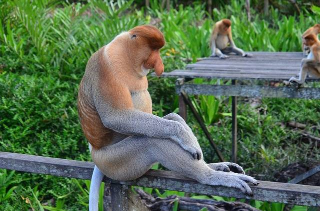 Proboscis Monkey Borneo - Free photo on Pixabay (513566)