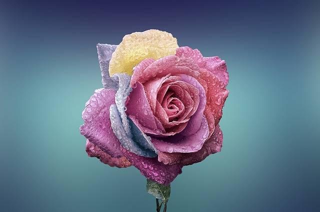 Rose Flower Love - Free photo on Pixabay (520035)