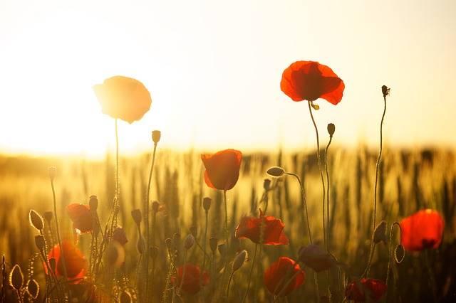 Sunset Poppy Backlight - Free photo on Pixabay (520110)