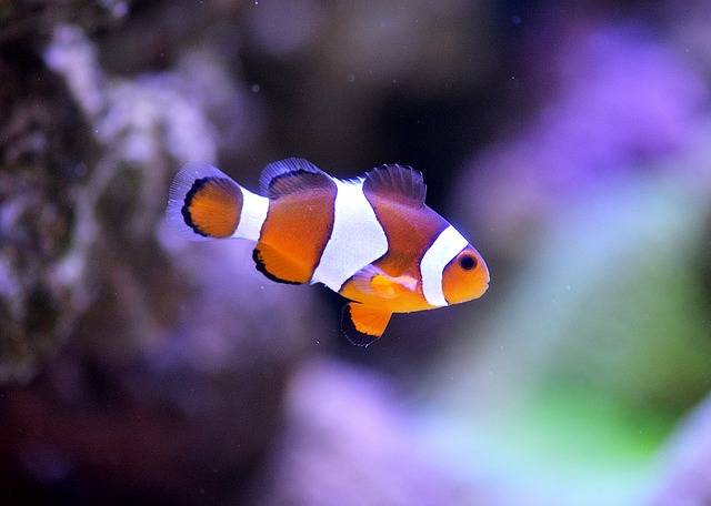 Clownfish Sea Aquarium Clown - Free photo on Pixabay (525229)