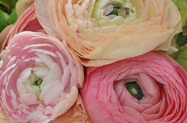 Ranunculus Asiaticus Flower Nature - Free photo on Pixabay (525595)