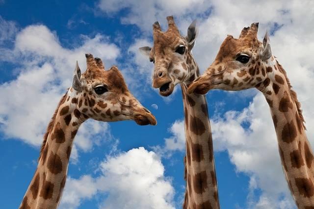 Giraffes Entertainment Discussion - Free photo on Pixabay (525992)