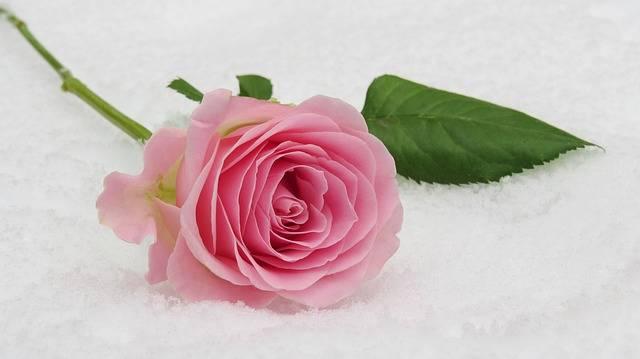 Rose Winter Blossom - Free photo on Pixabay (527900)