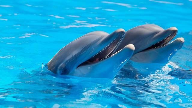 Animal Dolphins Fish - Free photo on Pixabay (536656)