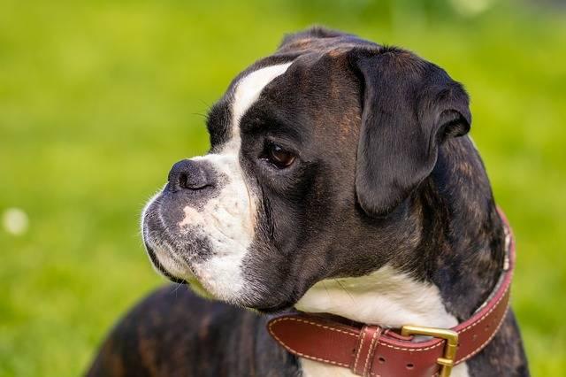 Dog Boxer Pet - Free photo on Pixabay (538526)
