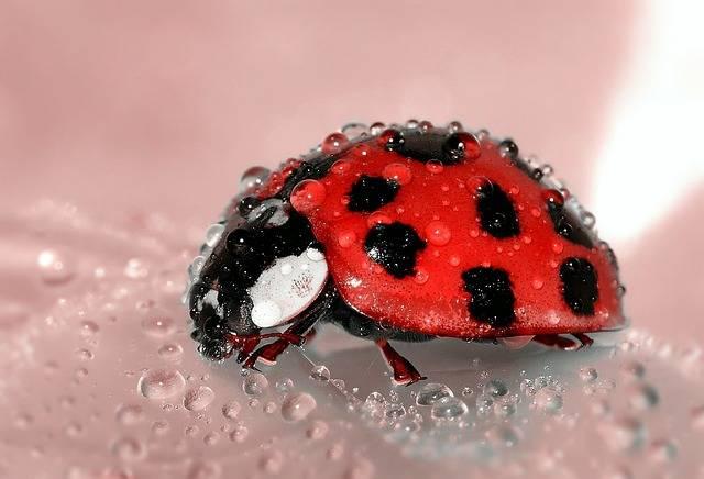 Ladybug Beetle Insect Lucky - Free photo on Pixabay (539021)