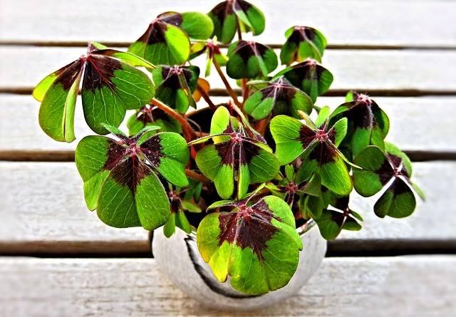 Lucky Clover Four-Leaf - Free photo on Pixabay (539031)