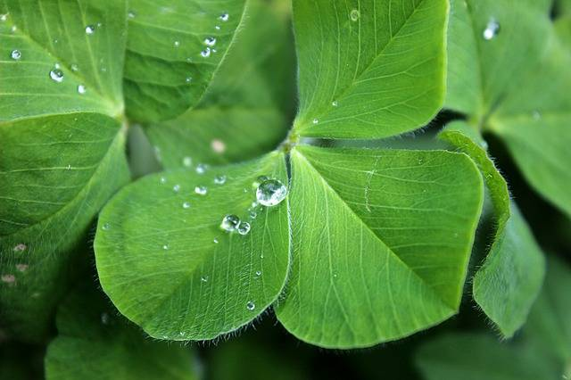 Four Leaf Clover Luck Green - Free photo on Pixabay (539049)