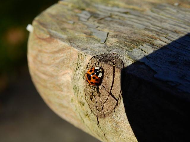 Beetle Ladybug Wood - Free photo on Pixabay (539058)