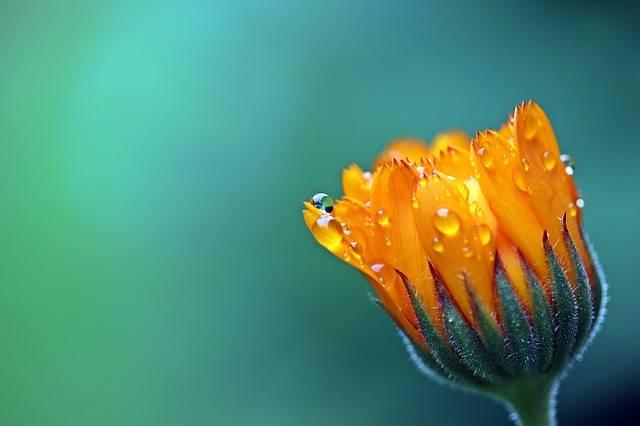 Marigold Calendula Orange - Free photo on Pixabay (539140)