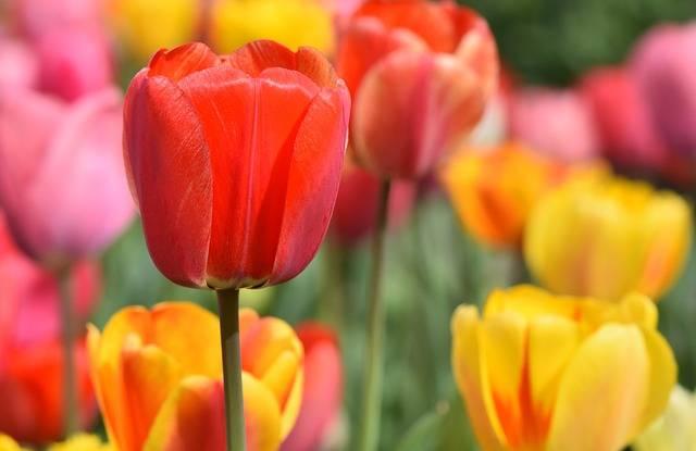 Tulip Field Blossom - Free photo on Pixabay (539145)