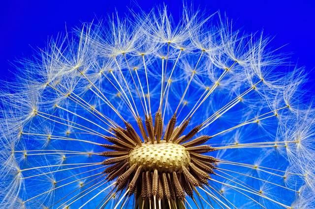 Nature Dandelion Macro Close - Free photo on Pixabay (539148)