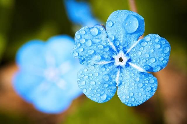 Flower Macro Forget - Free photo on Pixabay (539150)
