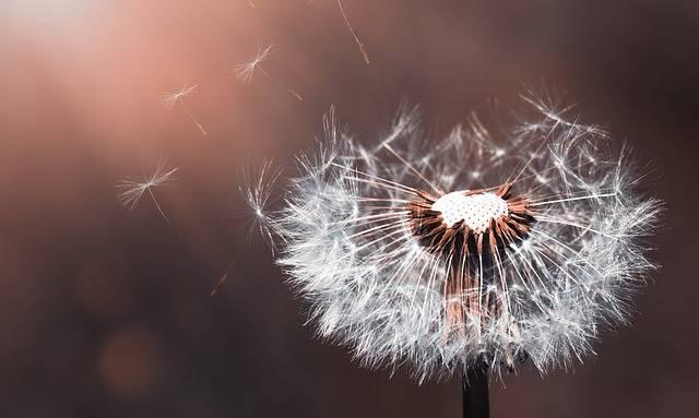 Dandelion Flower Nature Close - Free photo on Pixabay (539156)