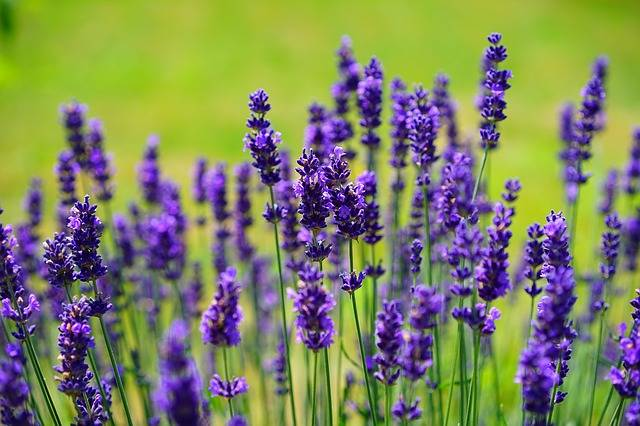 Lavender Flowers Purple Wild - Free photo on Pixabay (539677)