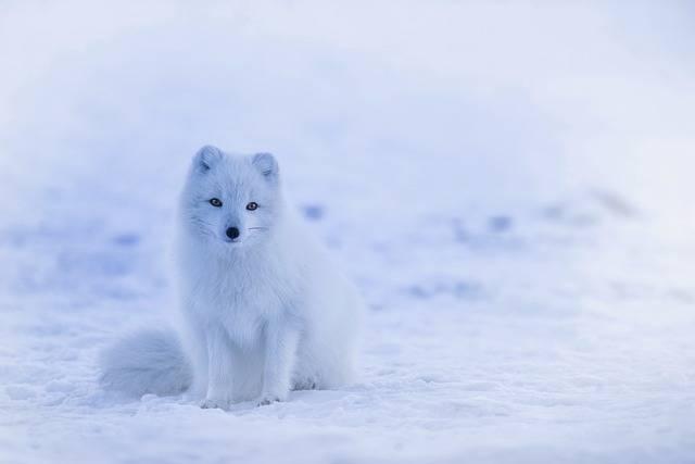 Iceland Arctic Fox - Free photo on Pixabay (542694)