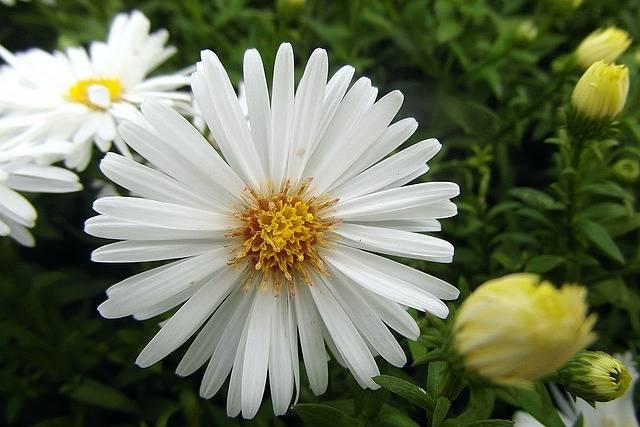 Flower Marcinek Aster Bushy - Free photo on Pixabay (545083)