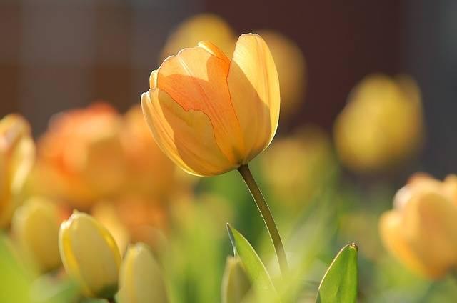 Tulip Yellow Bright - Free photo on Pixabay (545091)