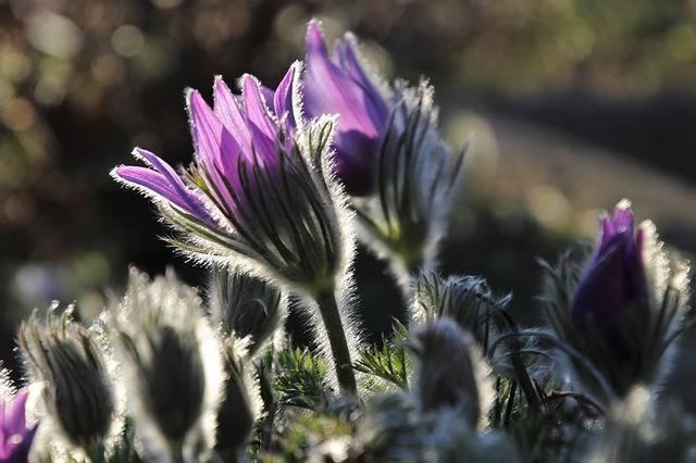 Sasanka Spring Nature The - Free photo on Pixabay (546729)