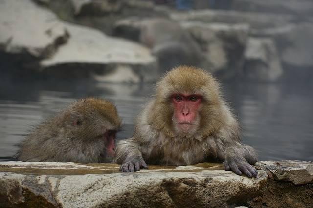 Animal Monkey Baby Japanese - Free photo on Pixabay (547866)