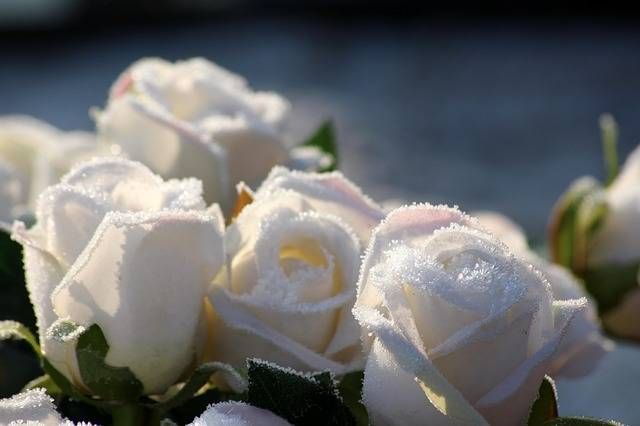 Roses Flowers Winter - Free photo on Pixabay (548491)